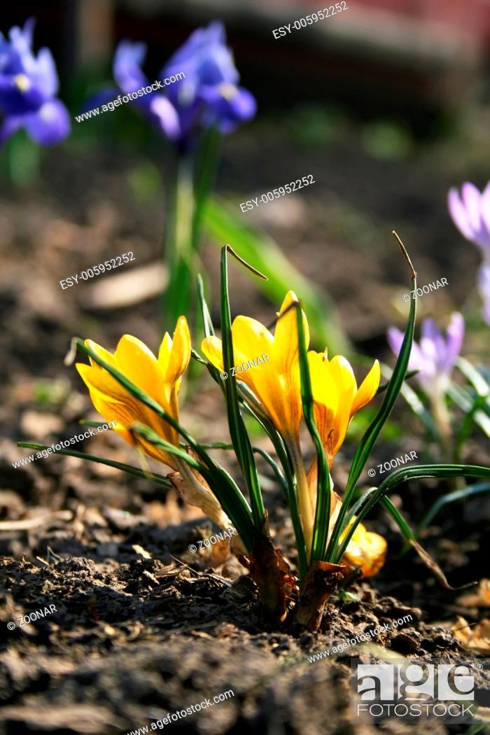 Stock Photo: Yellow Crocus.