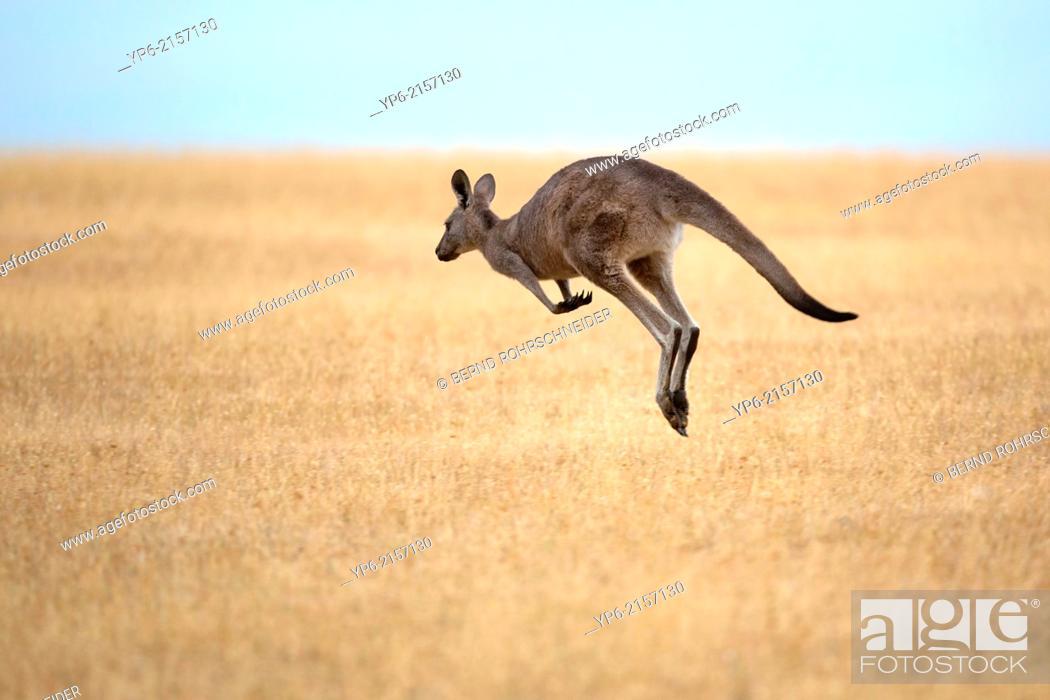 Stock Photo: jumping Eastern Grey Kangaroo (Macropus giganteus), Maria Island, Tasmania, Australia.