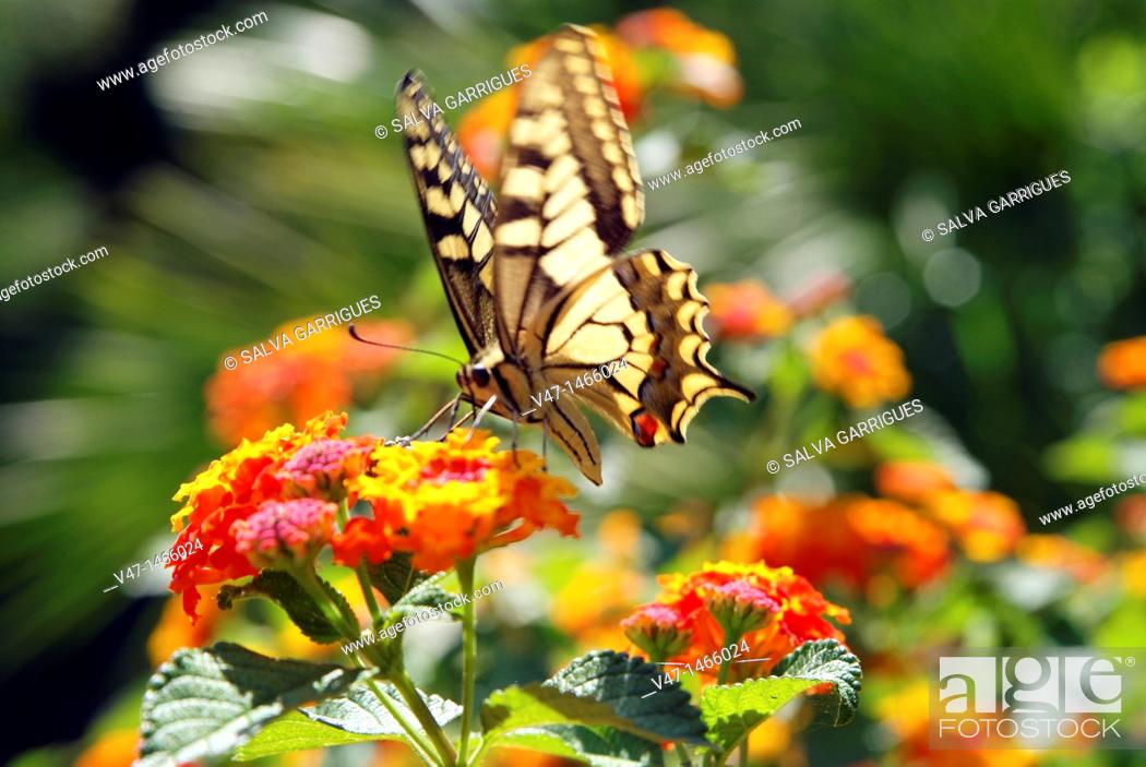 Stock Photo: butterfly, papilio machaon.