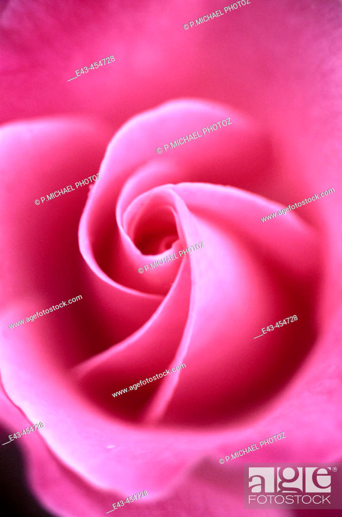 Stock Photo: Pink rose close up.