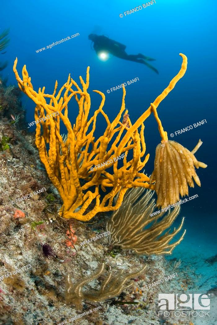 Stock Photo: Squid Eggs hanging on Yellow Sponge, Axinella Canabina, Marettimo, Aegadian Islands, Sicily, Mediterranean Sea, Italy.