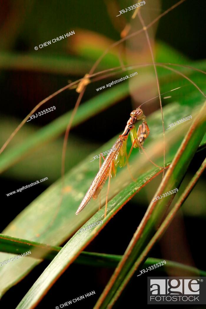Stock Photo: Mantis in action, Borneo.