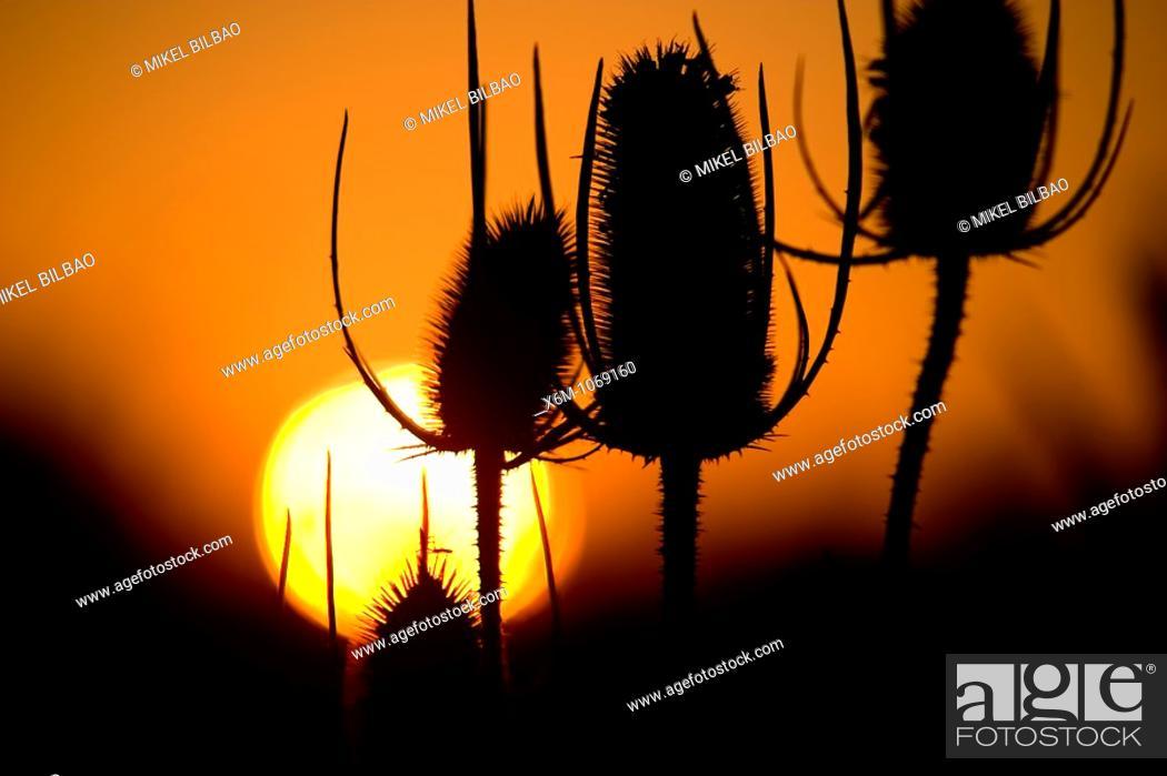Stock Photo: Fuller's teasel or wild teasel Dipsacus fullonum at sunset.