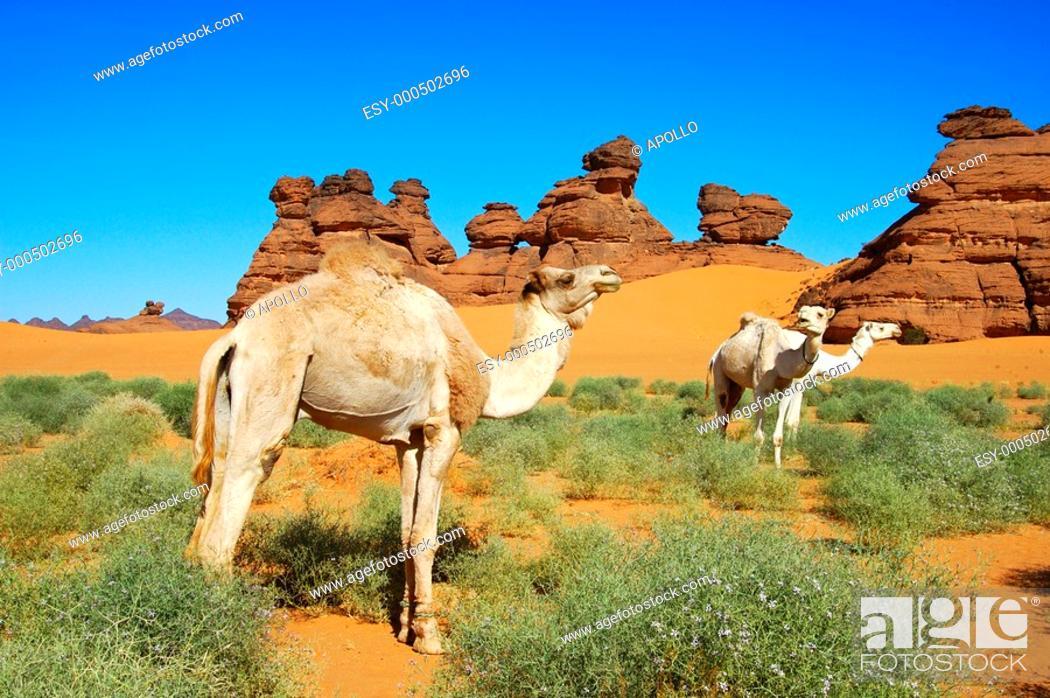 Stock Photo: White Mehari dromedaries of the Tuareg nomads grazing on a desert pasture, Sahara desert, Libya.