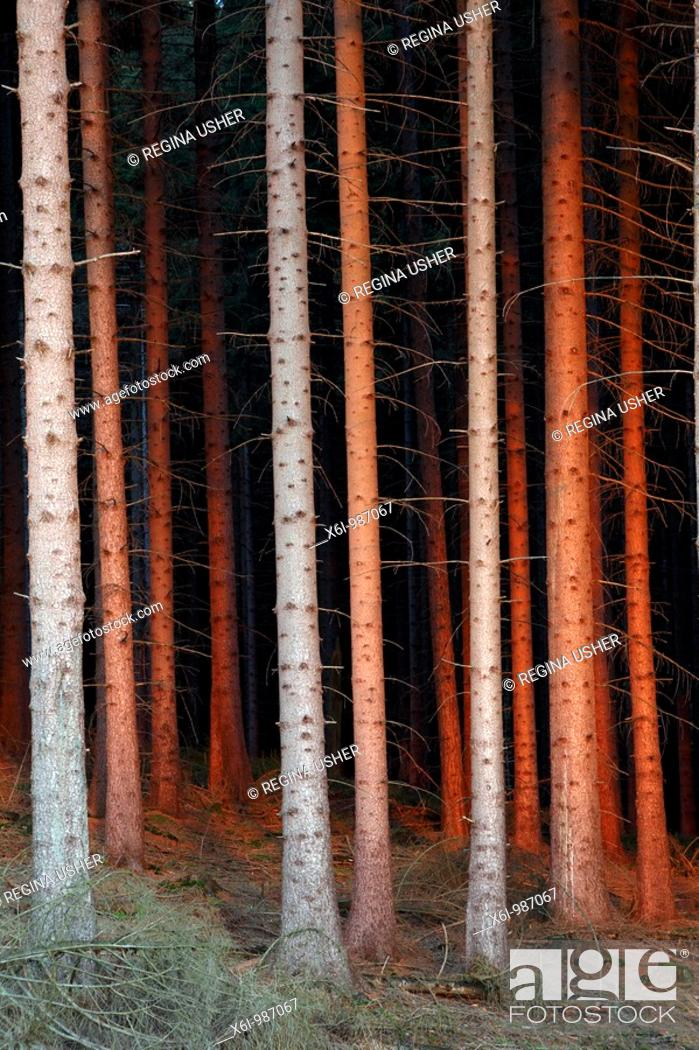 Stock Photo: Fir Tree Stems Picea abies, in glow of setting sun, Germany.