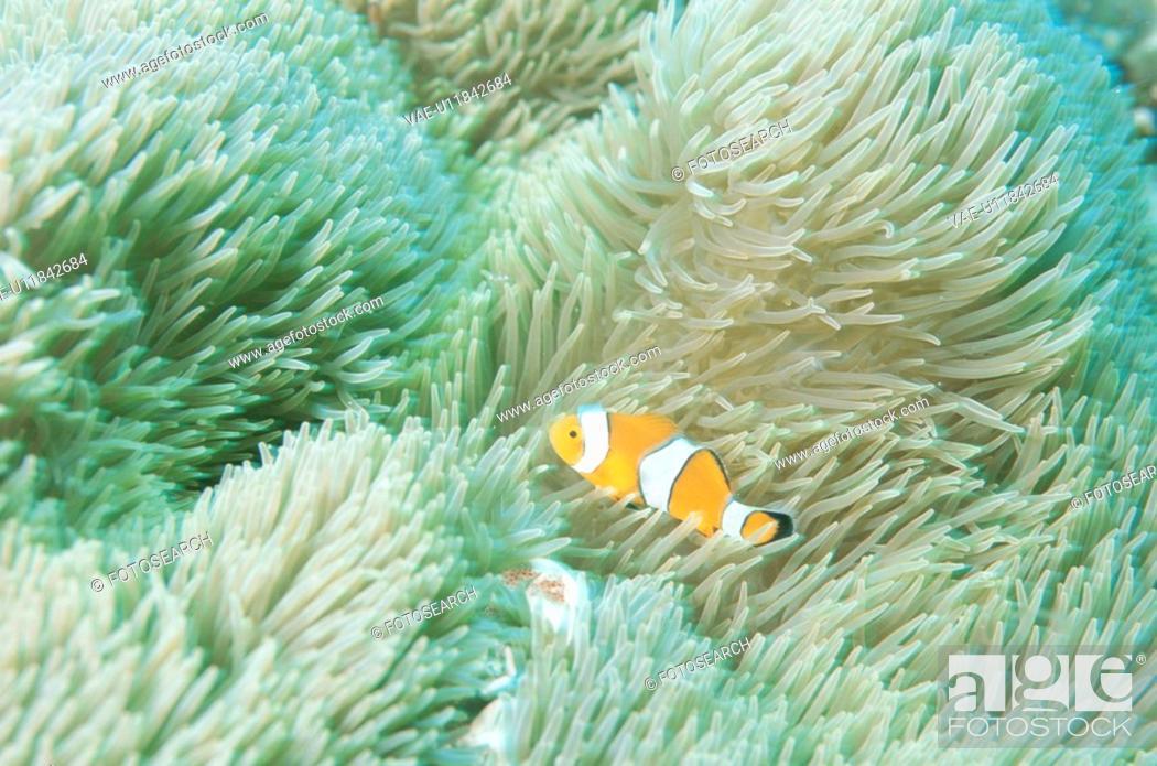 Stock Photo: Sea Anemone Bear Flea.