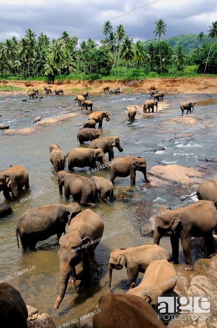 Stock Photo: Elephant orphanage, Pinnawala, Sri Lanka.