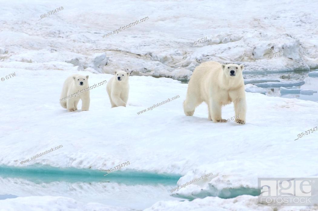 Stock Photo: Polar Bears (Ursus maritimus) walking on an ice floe near Wrangel Island, UNESCO World Heritage site, sow with cubs, Wrangel Island.