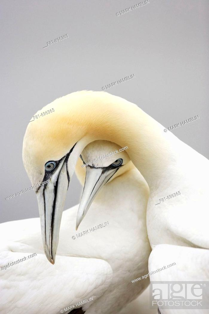 Stock Photo: Northern Gannet Sula bassana pair engaged in courtship behaviour  Scotland  August 2007.