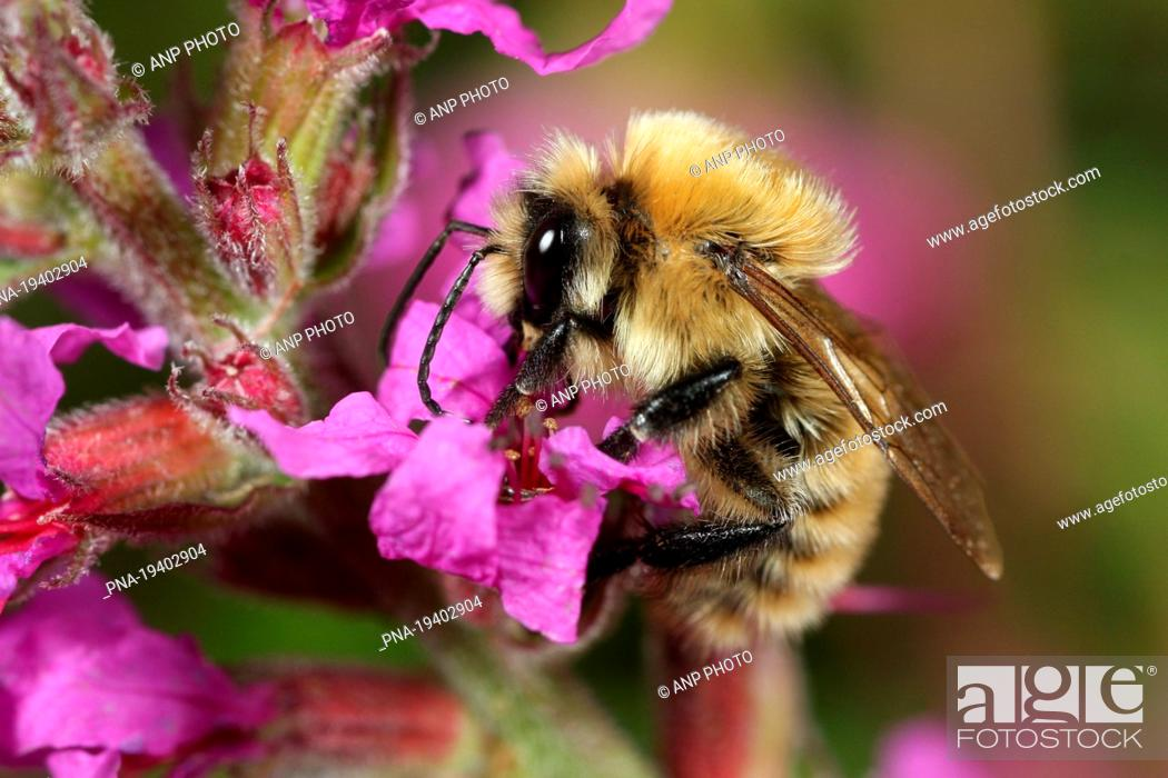 Imagen: Scarce carder bee Bombus muscorum - Beninger Slikken, Beningerslikken, Bernisse, Voorne-Putten, South Holland, The Netherlands, Holland, Europe.