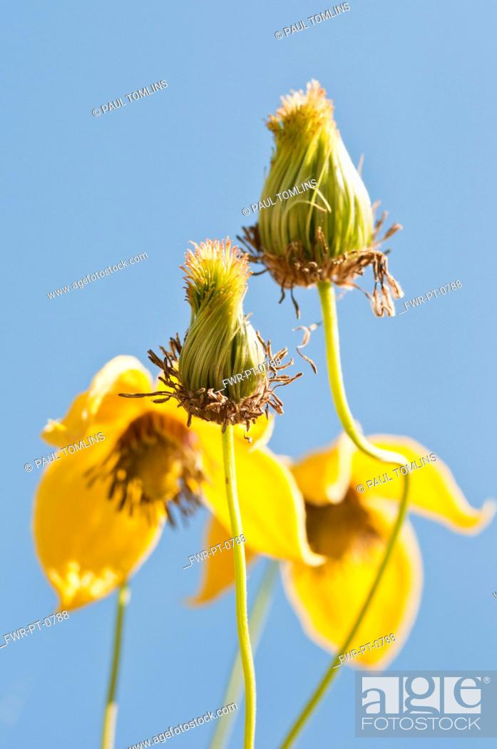 Stock Photo: Yellow flowers of Clematis tangutica with fluffy seedheads in foreground against blue sky.