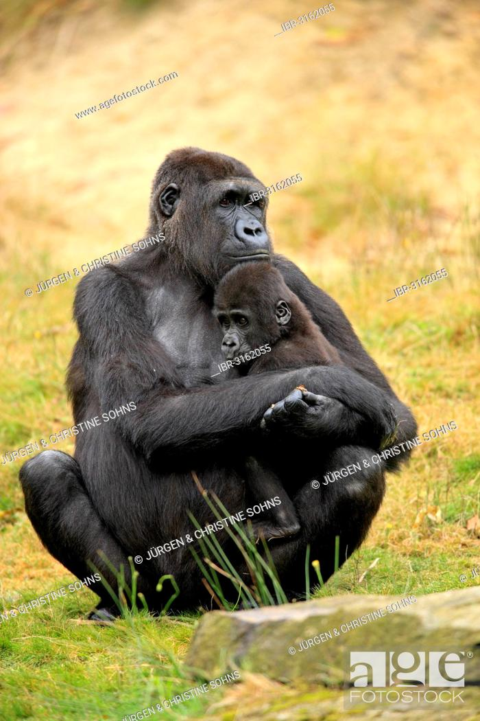 Stock Photo: Western Lowland Gorilla (Gorilla gorilla gorilla), female with an infant, native to Africa, captive, Apeldoorn, Gelderland, The Netherlands.