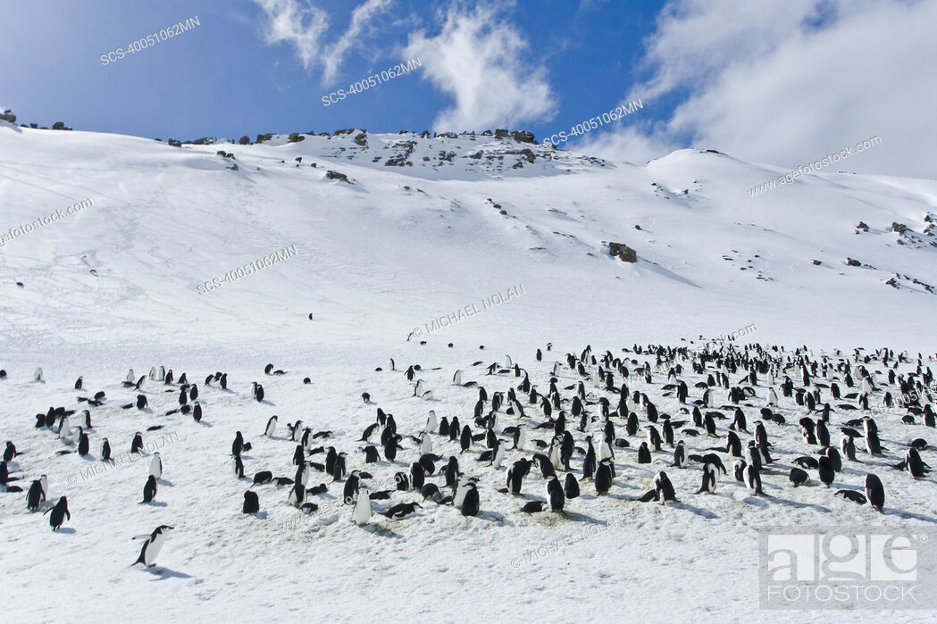 Stock Photo: Chinstrap penguin Pygoscelis antarctica colony on Bailey Head on Deception Island in the South Shetland Islands near the Antarctic Peninsula There are an.