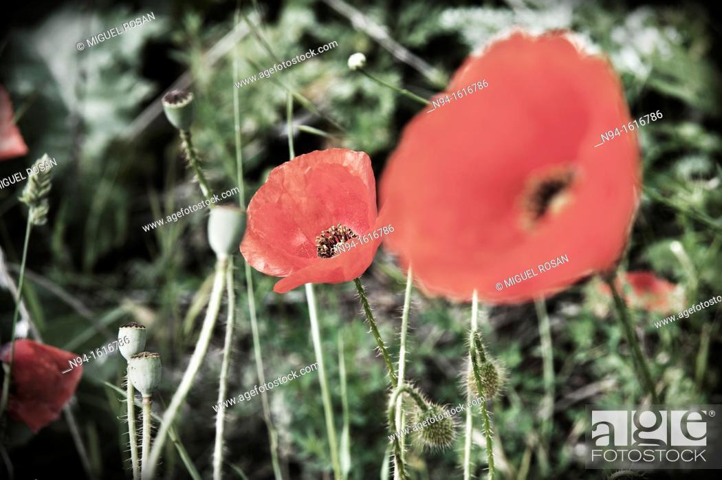 Imagen: Wild Poppies Teruel, Aragon, Spain.