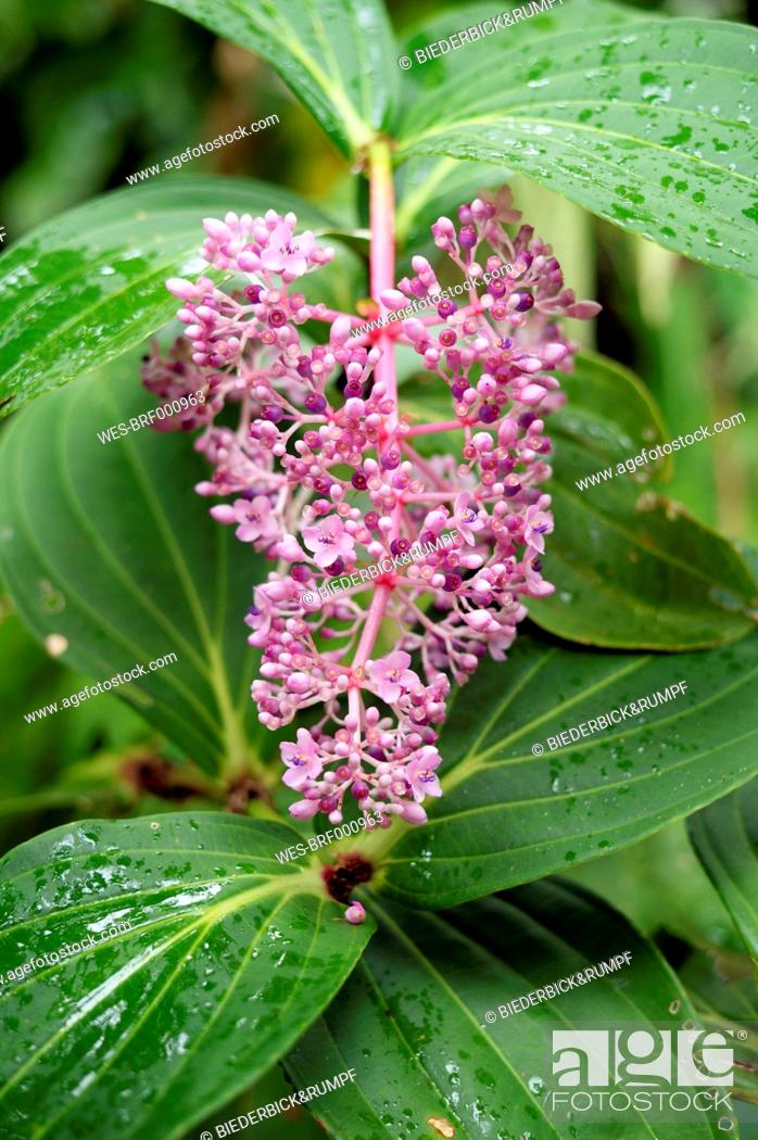 Stock Photo: USA, Hawaii, Big Island, Papaikou, Hawaii Tropical Botanical Garden, pink blossom of Medinilla magnifica.