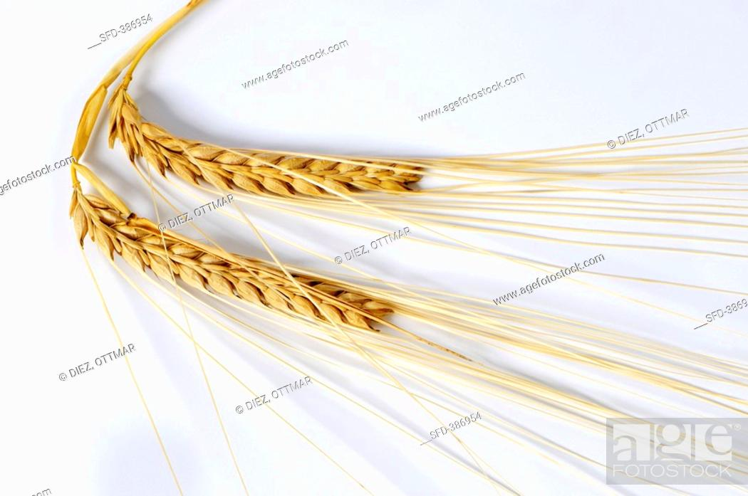 Stock Photo: Naked two-rowed barley Hordeum distichon ssp. nudum.