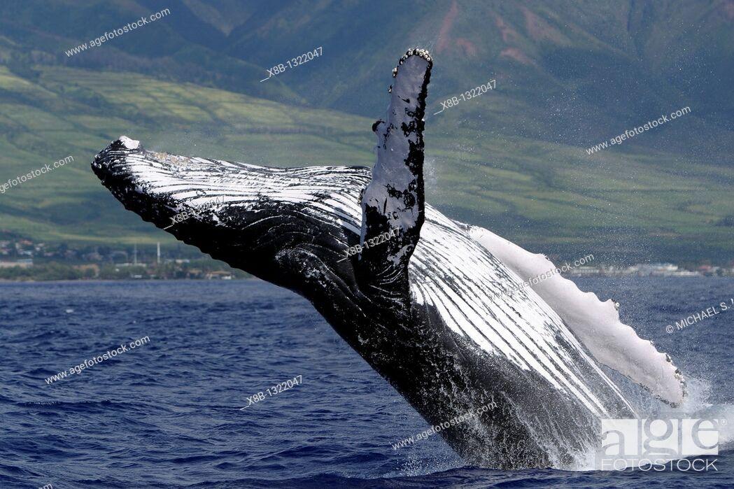 Stock Photo: Adult Humpback Whale Megaptera novaeangliae breaching in the AuAu Channel, Maui, Hawaii, USA.
