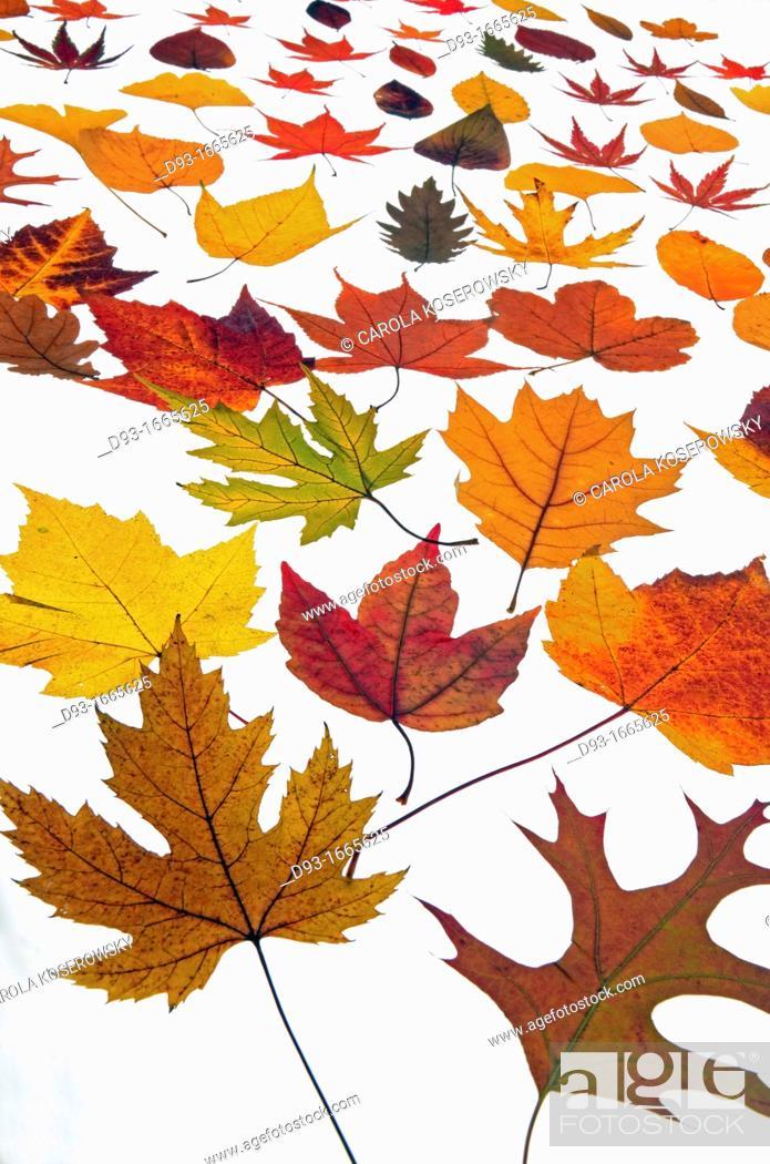 Stock Photo: Beautyful autumnal Leaves.