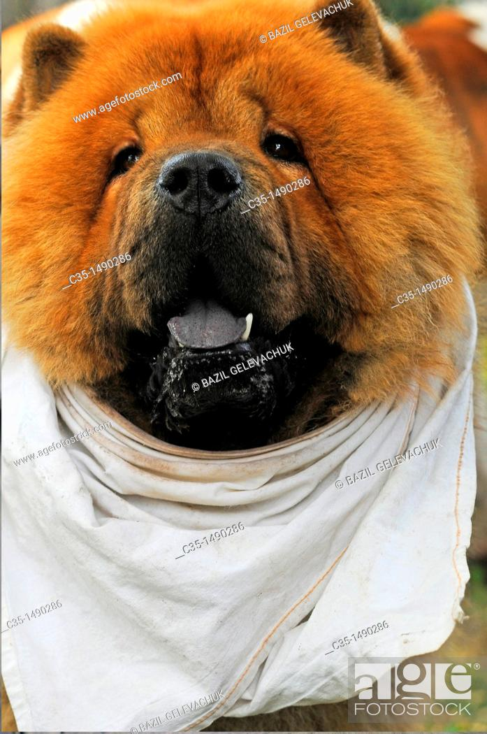 Stock Photo: Dog, Chow Chow.