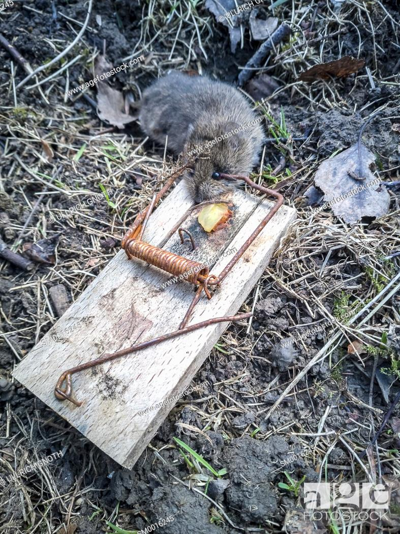 Stock Photo: A dead mouse in a trap.