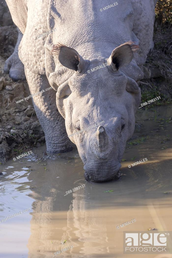 Stock Photo: India, State of Assam, Kaziranga National Park, Asian One-horned rhino or Indian Rhinoceros or Greater One-horned Rhinoceros (Rhinoceros unicornis).