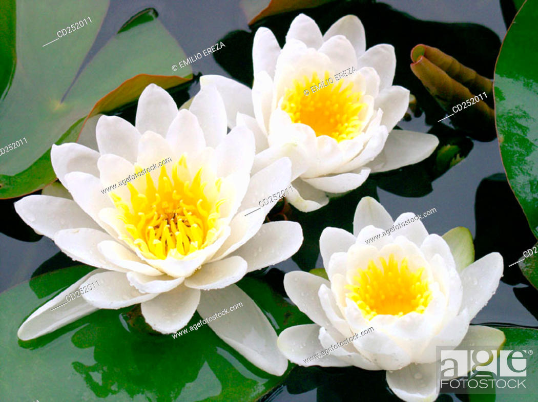 Stock Photo: Water Lilies (Nymphaea alba).
