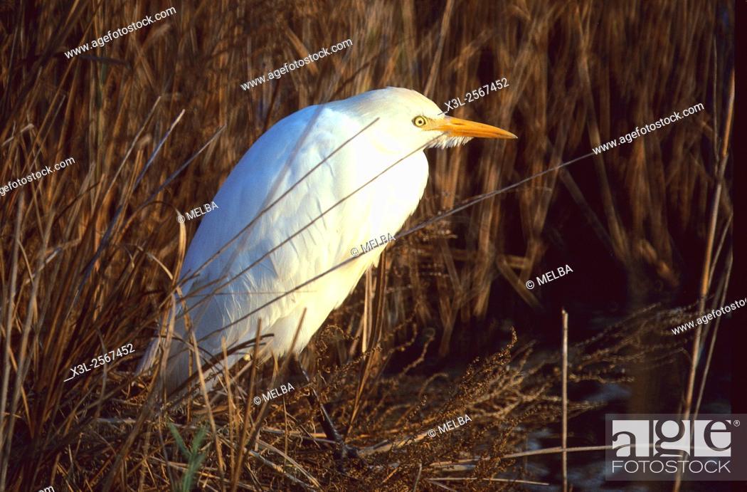 Stock Photo: Bubulcus ibis. Cattle Egret. European bird.