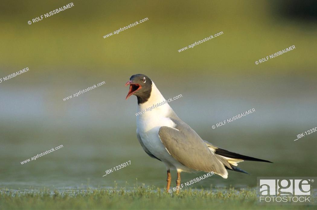 Stock Photo: Laughing Gull (Larus atricilla), adult calling, Welder Wildlife Refuge, Sinton, Texas Coast, USA.