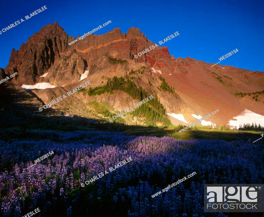 Stock Photo: Sunlight on Lupine (Lupinus) in Canyon Creek Meadows and Three Fingered Jack, Mt. Jefferson Wilderness. Oregon, USA.