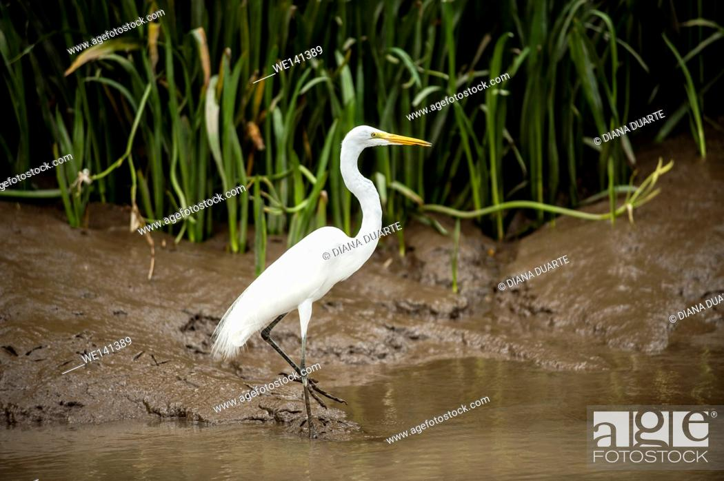 Stock Photo: 'Great Egret' (Ardea alba), The head plumes form a short crest. The aigrette plumes of the neck are long and filamentous.