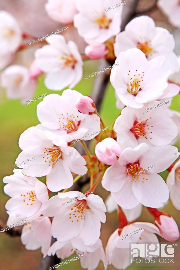 Stock Photo: Cherry blossoms, Fukushima, Japan.