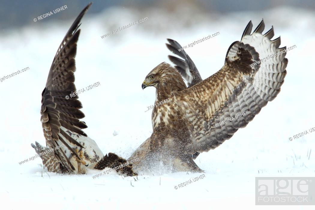 Stock Photo: Common Buzzard Buteo buteo, two fighting over food in winter.