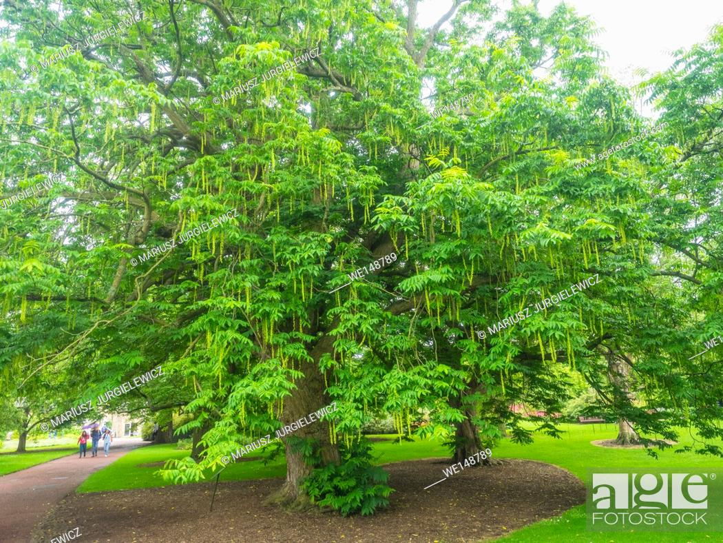 Stock Photo: Caucasian wingnut (Pterocarya fraxinifolia) is a species of tree in the Juglandaceae family.