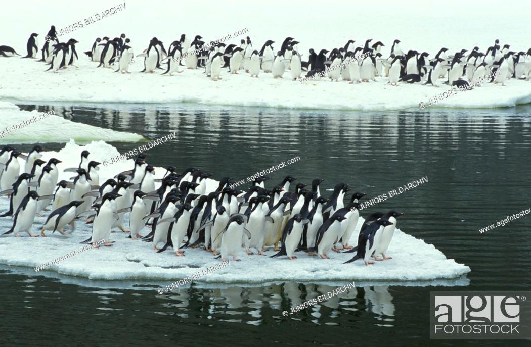 Stock Photo: Adelie penguin - colony - Pygoscelis adeliae.