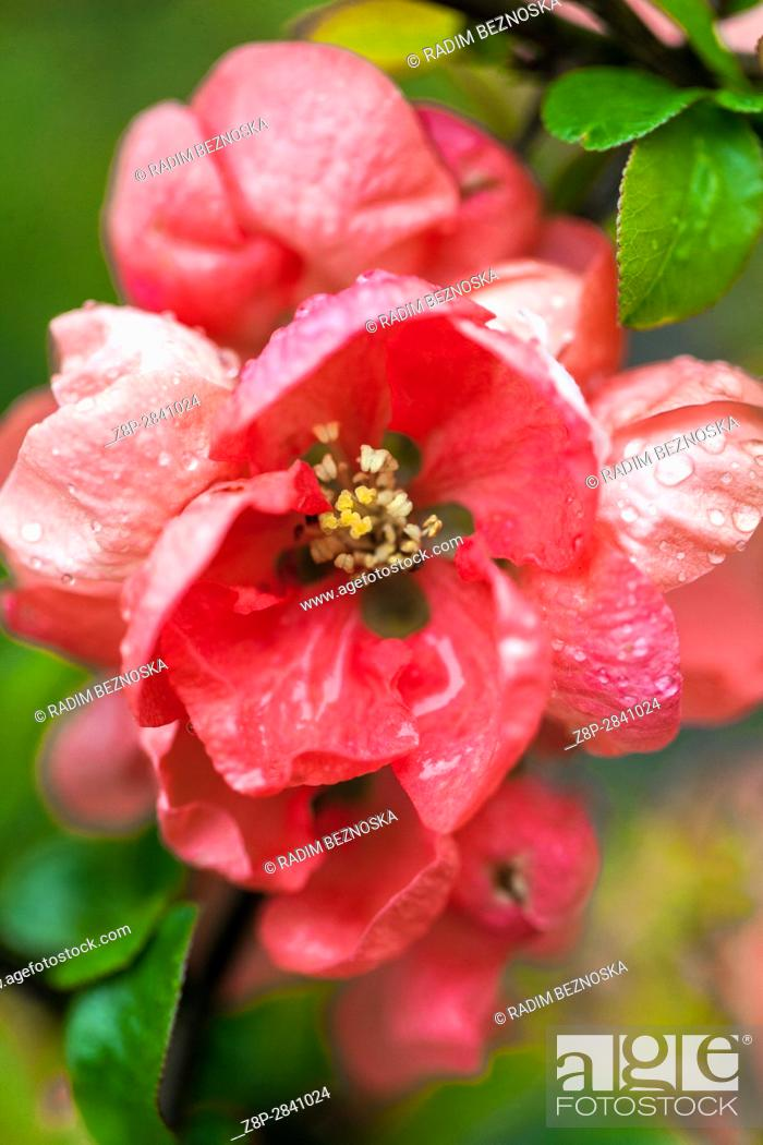 "Imagen: Flowering quince Chaenomeles speciosa """"Salmon Horizon"""" in a garden, Water drops."