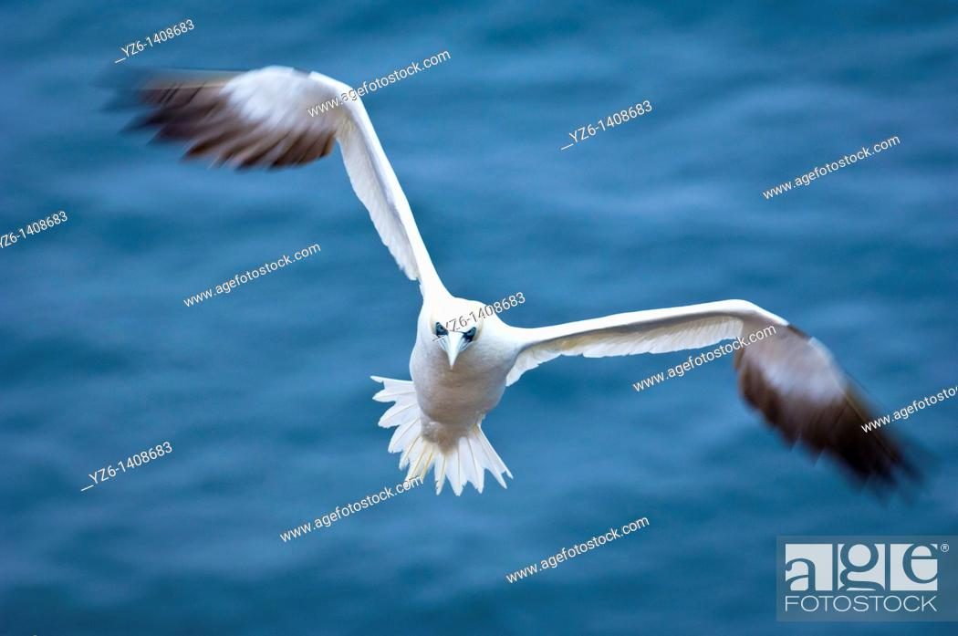 Stock Photo: Northern Gannet Sula bassana in flight  Helgoland, Germany, North Sea.