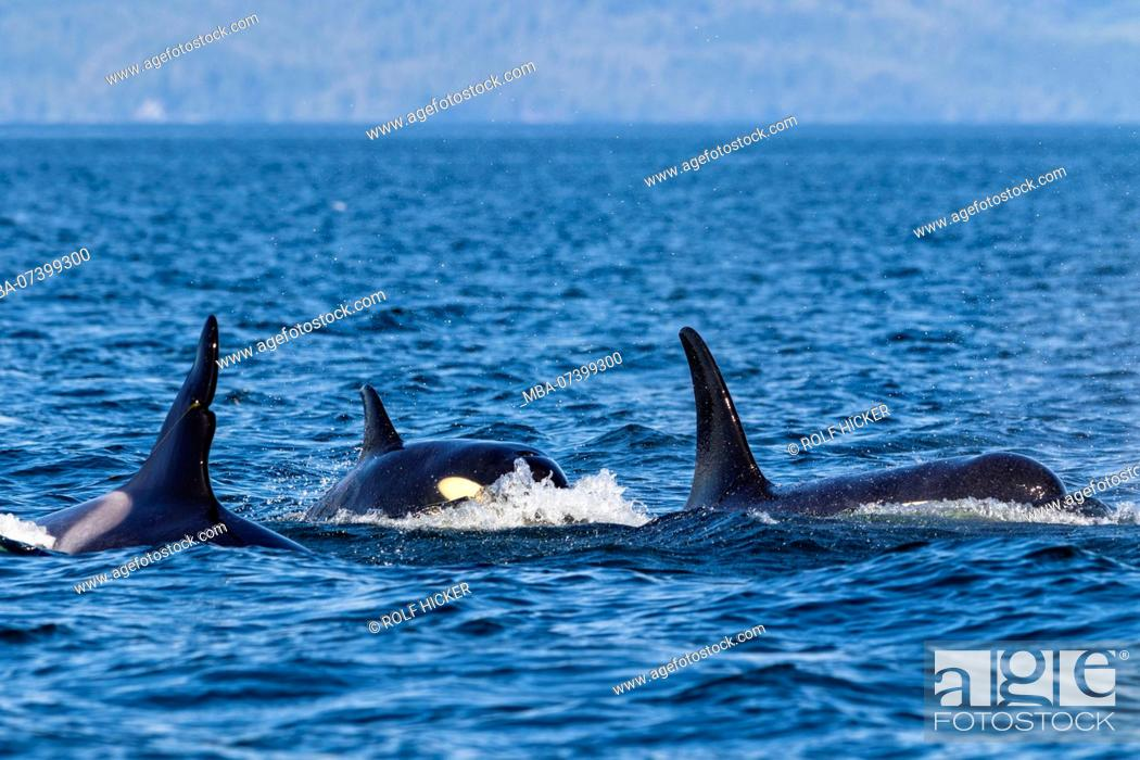 Stock Photo: Northern resident killer whale pod travelling in Queen Charlotte Strait off Northern Vancouver Island, British Columbia, Canada.