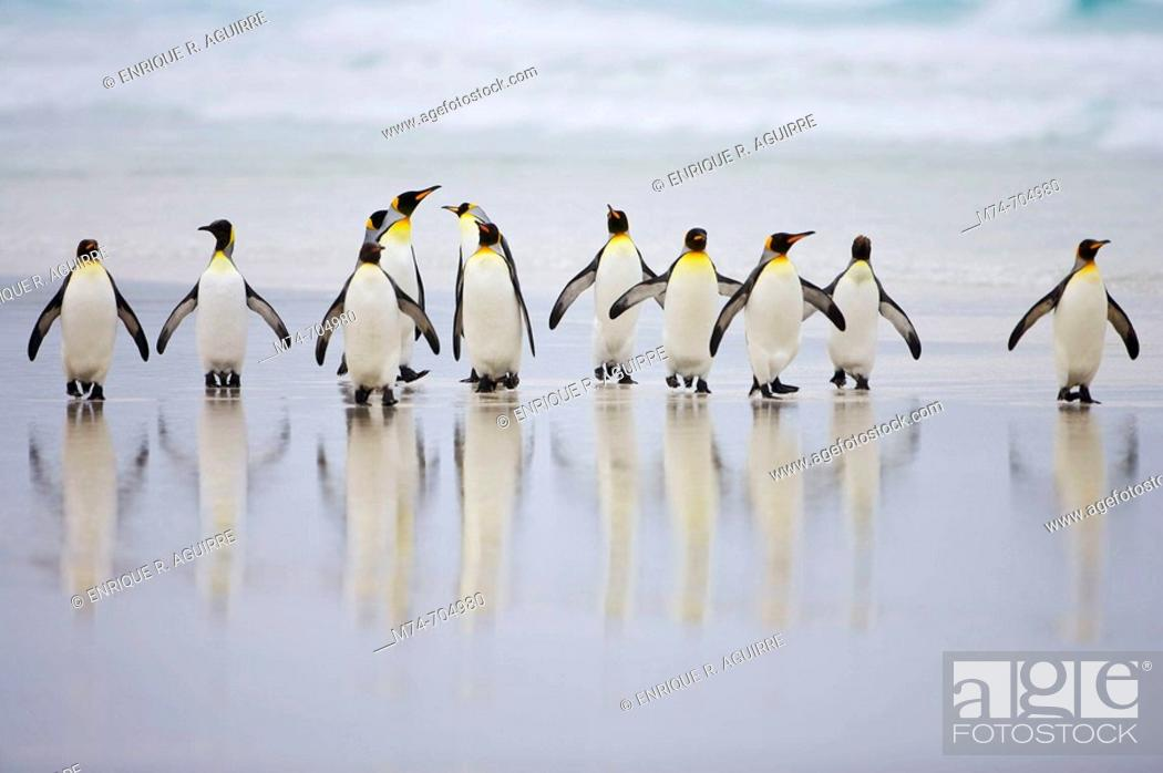 Stock Photo: King Penguin Aptenodytes patagonicus group in the surf.