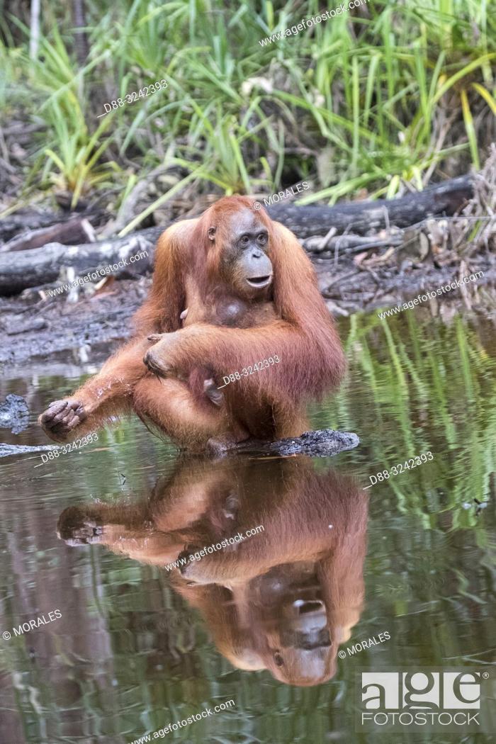 Stock Photo: Asia, Indonesia, Borneo, Tanjung Puting National Park, Bornean orangutan (Pongo pygmaeus pygmaeus), Adult female with a baby near by the water of Sekonyer river.