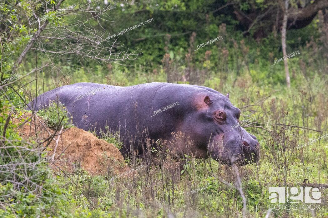 Photo de stock: Amphibious Hippopotamus or Common Hippopotamus (Hippopotamus amphibius), outside the water, grazing, Lake Mburo National Park, Uganda, Africa.