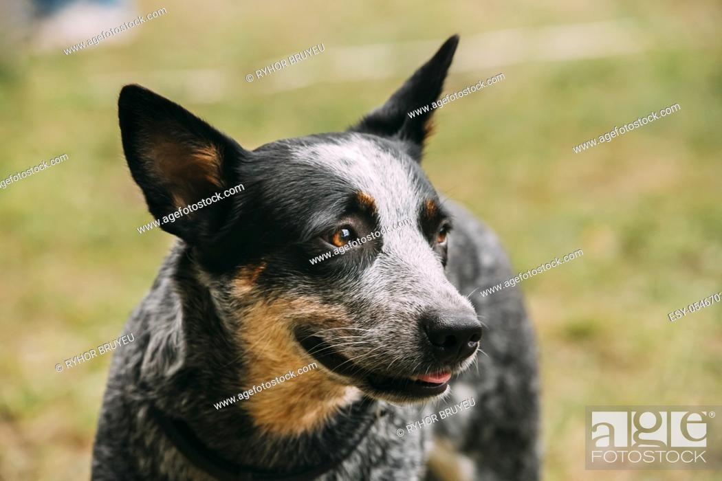 Stock Photo: Australian Cattle Dog Close Up Portrait Outdoor. This Is Breed Of Herding Dog Originally Developed In Australia For Droving Cattle Over Long Distances Across.