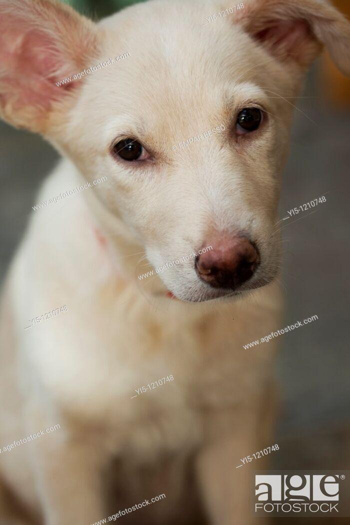 Stock Photo: hound labrador dog close-up.