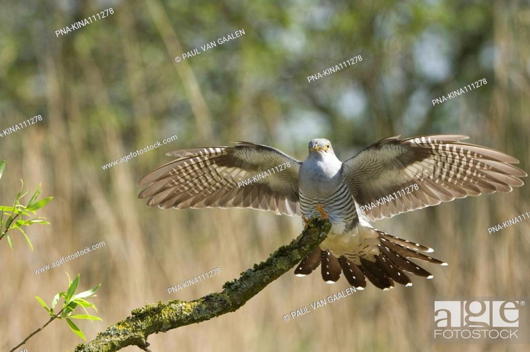 Stock Photo: Common Cuckoo Cuculus canorus.