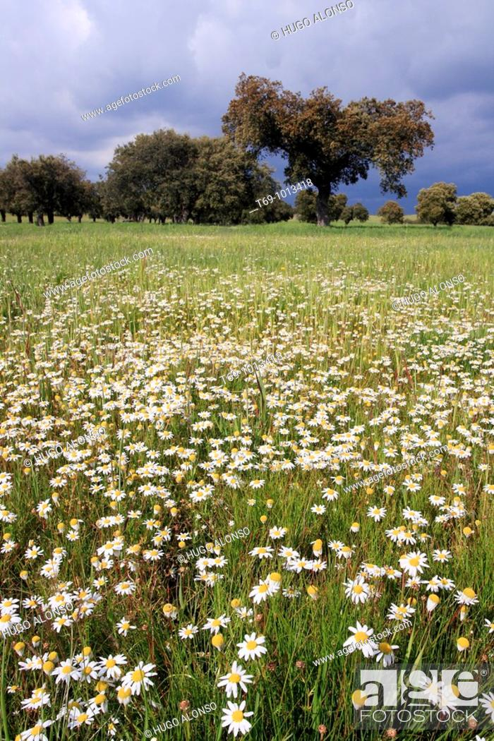Photo de stock: Daisy flowers in Monfrague Natural Park. Caceres province. Extremadura. Spain.