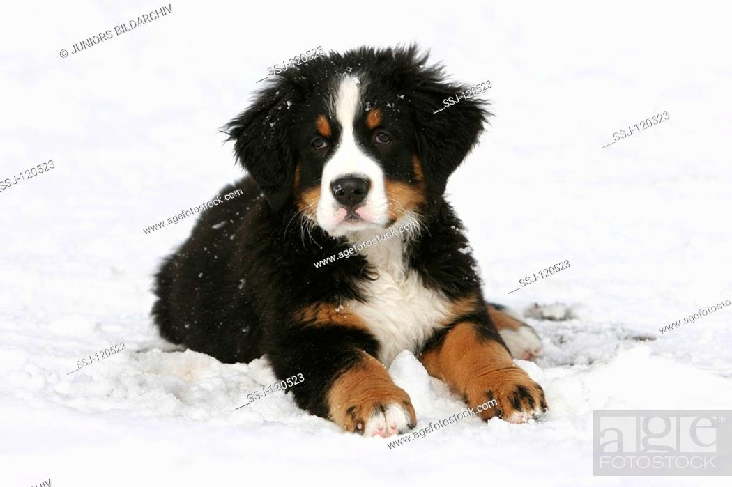 Bernese Mountain Dog Puppy Lying In Snow Stock Photo Picture And Rights Managed Image Pic Ssj 120523 Agefotostock