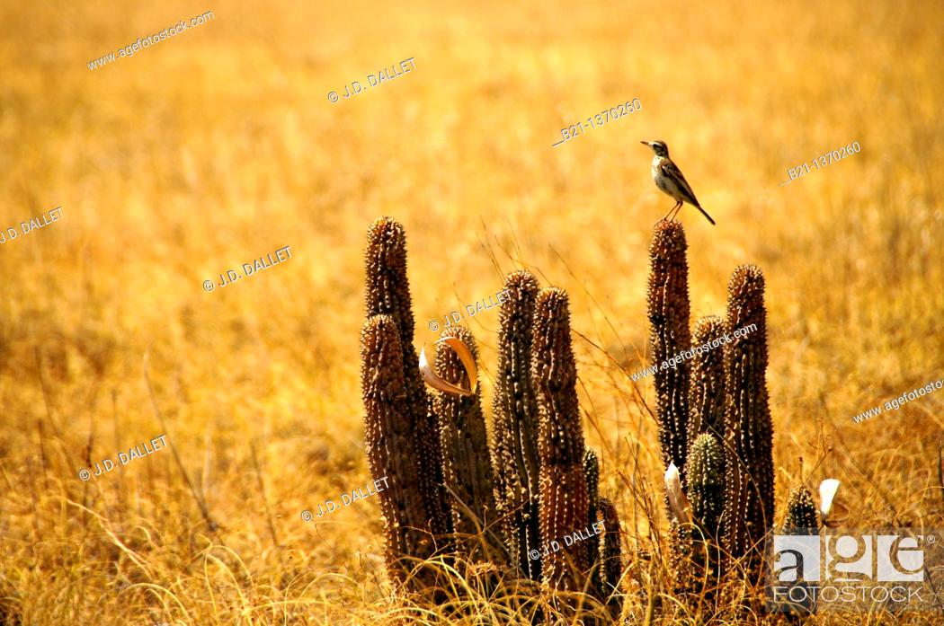 Stock Photo: Hoodia plants in the Sowa Pan, Central District, Botswana.