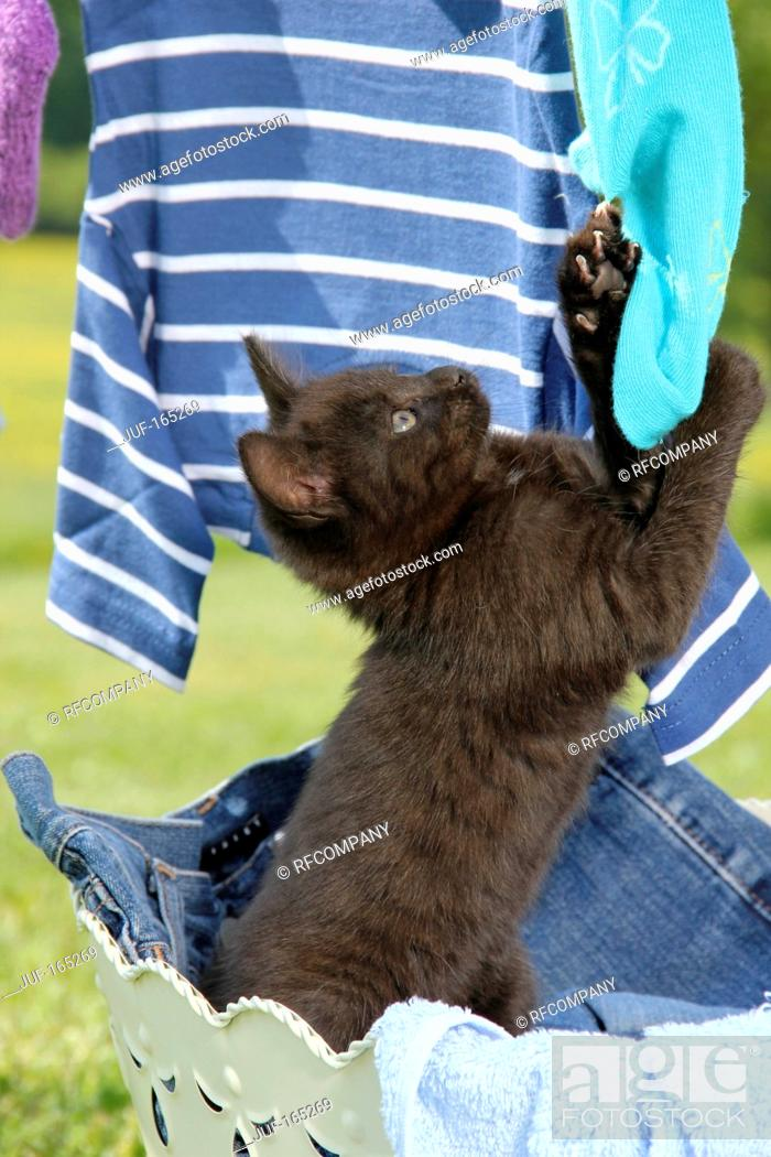 Imagen: bad habit : kitten 49 days playing with clothes.