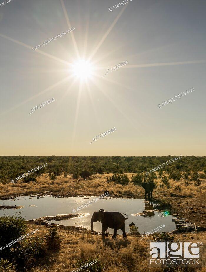 Stock Photo: Elephants drinking in a pond, Etosha National Park, Namibia.