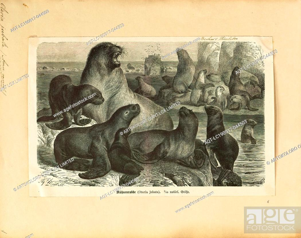Stock Photo: Otaria jubata, Print, South American sea lion, The South American sea lion (Otaria flavescens, formerly Otaria byronia), also called the Southern Sea Lion and.