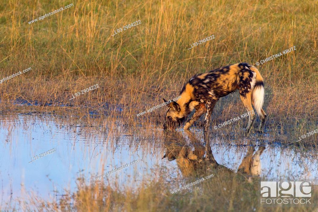 Stock Photo: Wild dog (Lycaon pictus) drinking. Okavango Delta, Botswana, Africa.